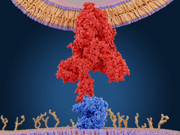 The coronavirus spike protein (red) mediates the virus entry into host cells. It binds to the angiotensin converting enzyme 2 (blue) and fuses viral and host membranes. stock photo