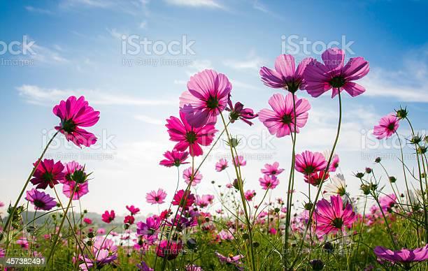 The cosmos flower field picture id457382491?b=1&k=6&m=457382491&s=612x612&h=tiobeuqboyes3s6hrddd7foyo0xq0oov ncan822vzw=