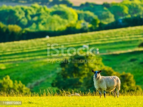 Agricultural landscape with grazing sheep in the Cotswolds region of the United Kingdom