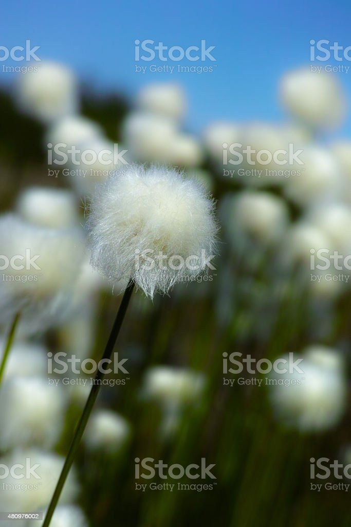 The cotton-grass at spring day stock photo