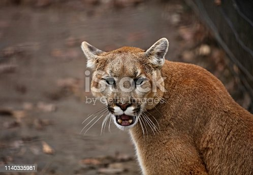 The cougar (Puma concolor), also commonly known by other names including catamount, mountain lion, panther and puma is American native animal.