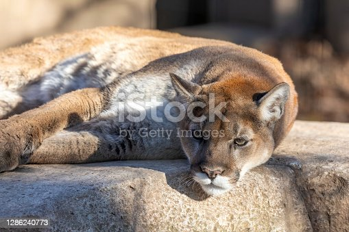 istock The cougar in ZOO. It is native to the Americas 1286240773