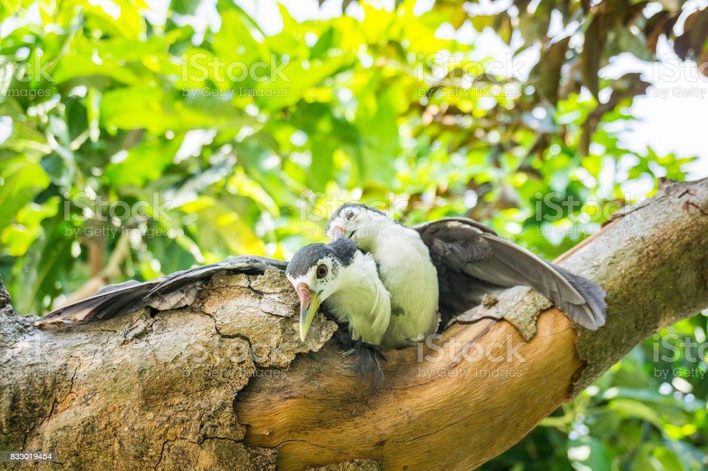 The couple amaurornis phoenicurusn birds stock photo