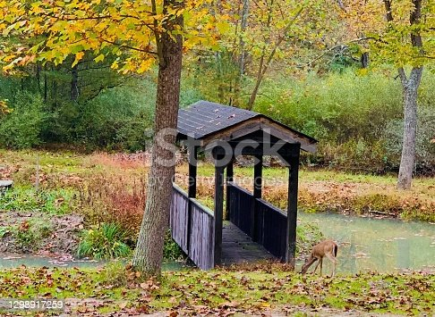 istock The Covered Bridge and Foraging Fawn 1298917259