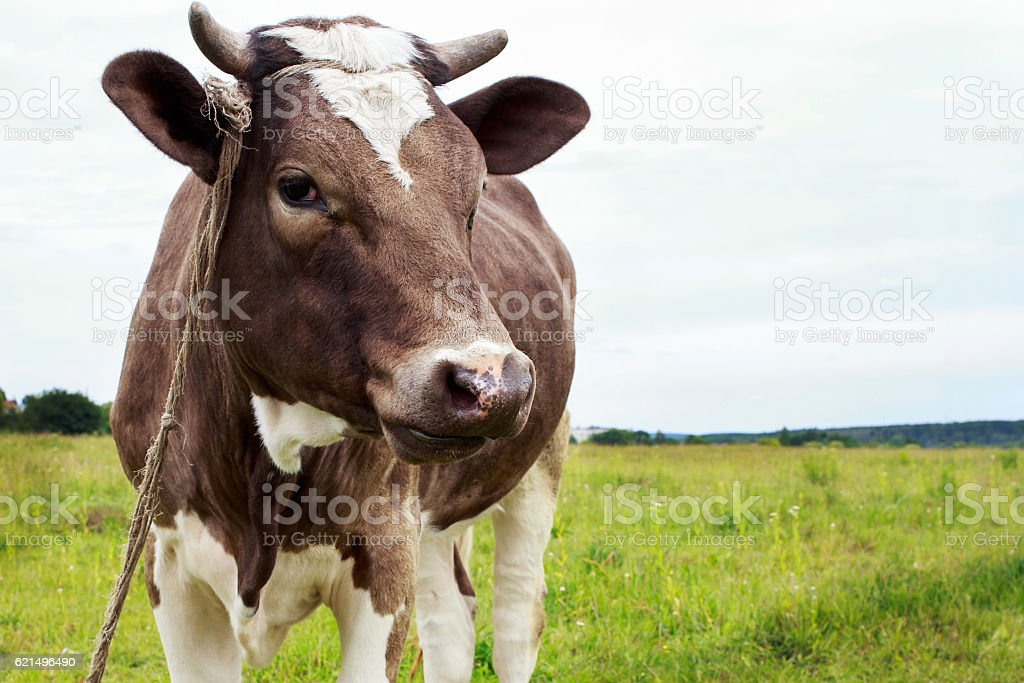 the cow grazes foto stock royalty-free