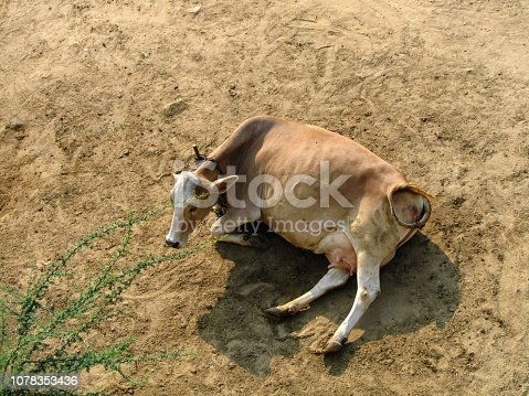 the cow is light brown lying on the dark yellow ground and the dark shadow of the cow on the ground