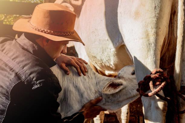 the cowboy, the milk cow and her calf - allevatore foto e immagini stock