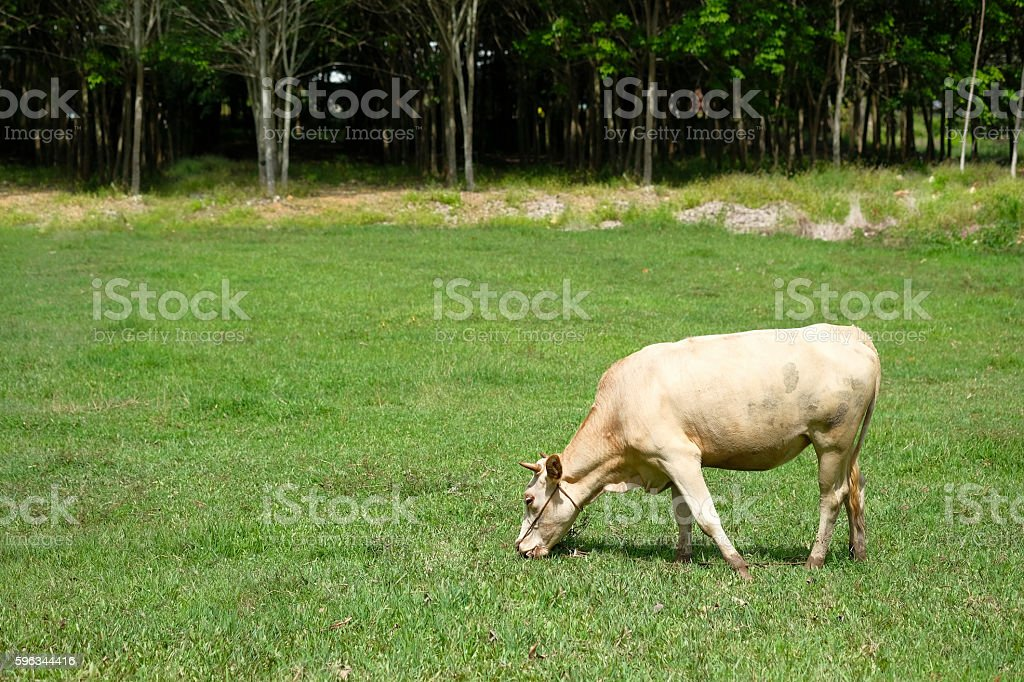 The cows are eating grass. royalty-free stock photo