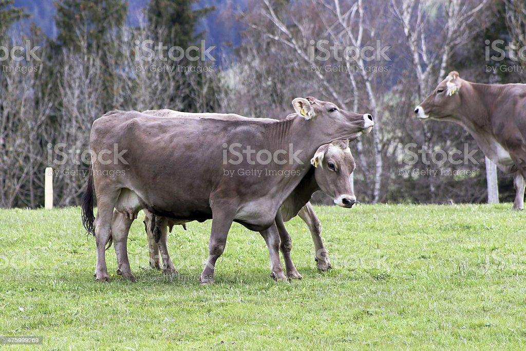 Die Kühe – Foto