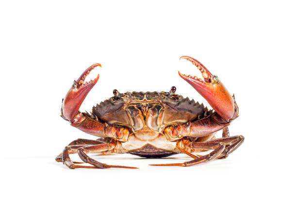 krabba på den vita bakgrunden. - krabba bildbanksfoton och bilder