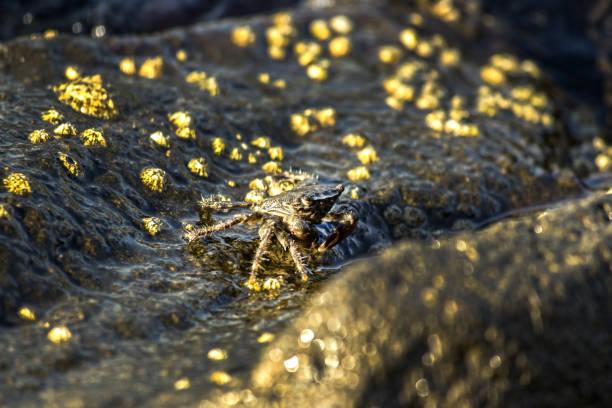 die krabbe - meeresfrüchte enchiladas stock-fotos und bilder