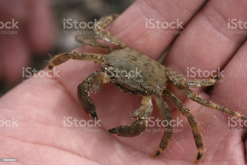 the crab royalty free stockfoto