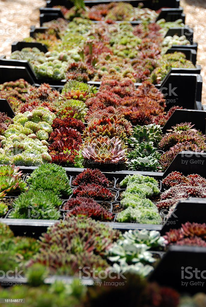 The Crassulaceae on a market stock photo