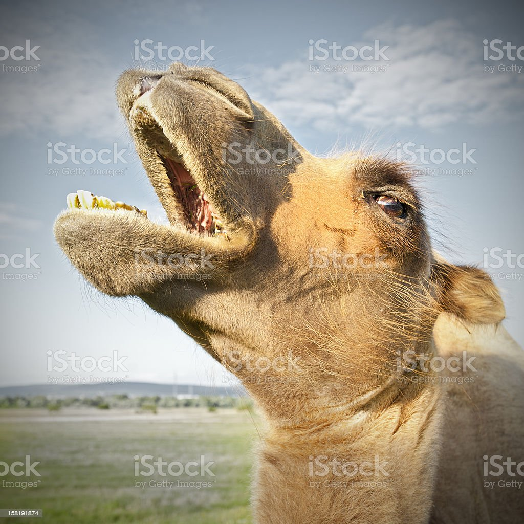 The Crazy Camel stock photo