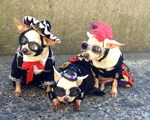 La Vida Loca Chihuahuas in costume pet clothing stock pictures, royalty-free photos & images