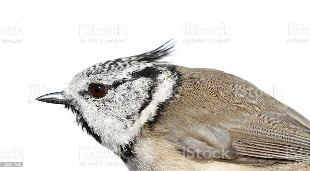 The Crested Tit on a white background. royalty-free stock photo
