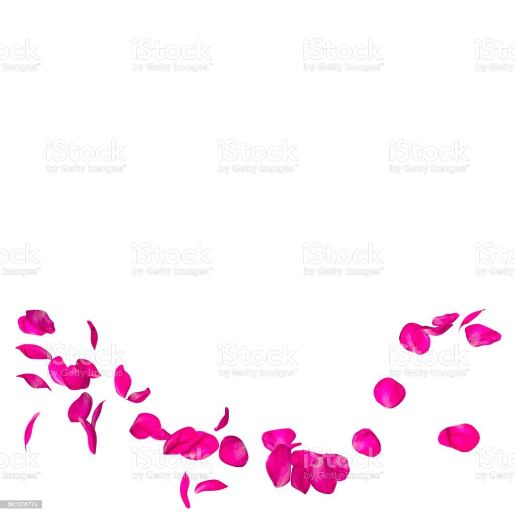 The crimson rose petals are flying in a circle on isolated white background royaltyfri bildbanksbilder