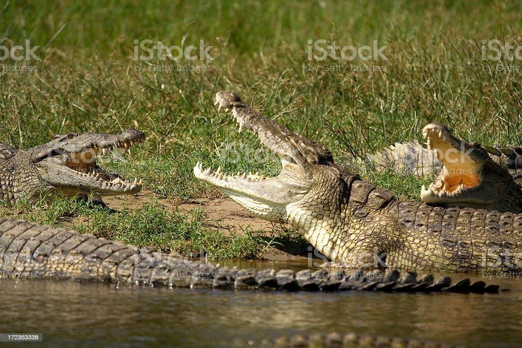 The crocodile bar royalty-free stock photo