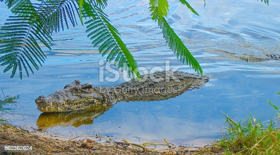 istock The crocodile floating in the river. 862362624