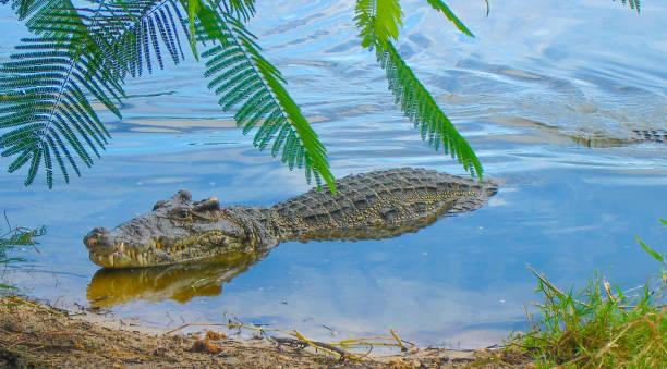 Le crocodile flottant dans la rivière. - Photo