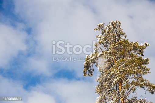 The crown of a lonely pine in the winter in the sun. Blue sky for background
