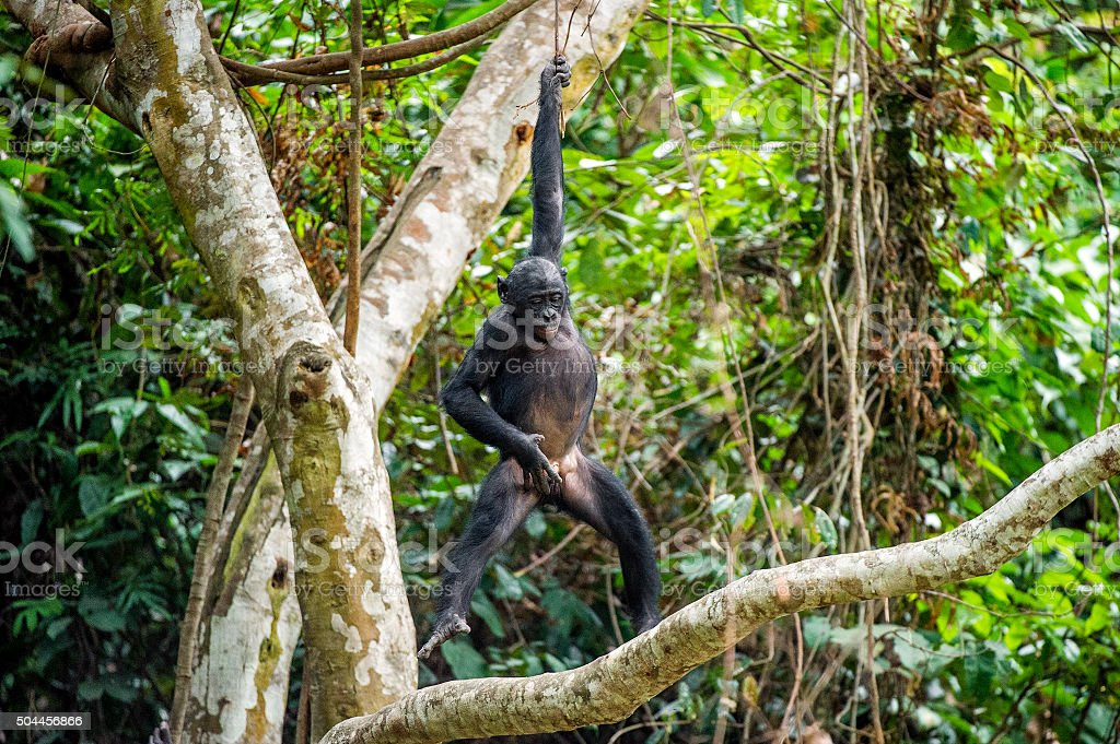 The cub Bonobo on a tree branch. stock photo