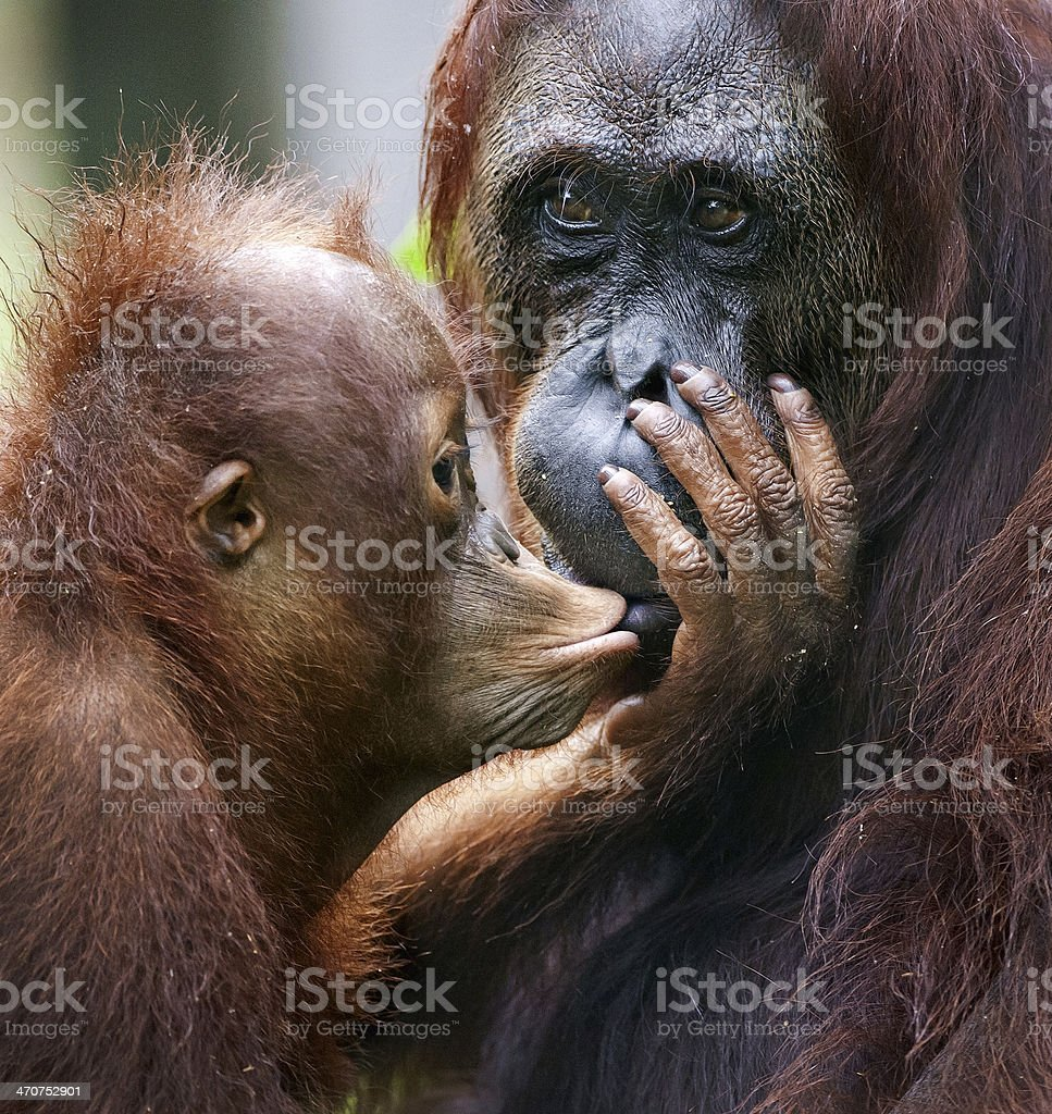 The cub of the orangutan kisses mum. stock photo
