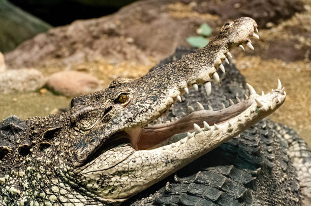 The Cuban crocodile
