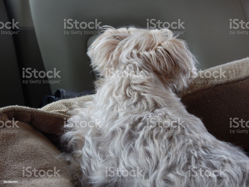 The Cuddly Yorkie And Maltese Mix Sitting In His Bed Stock Photo