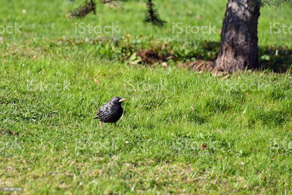 The curios starling under the tree. Common starling stock photo