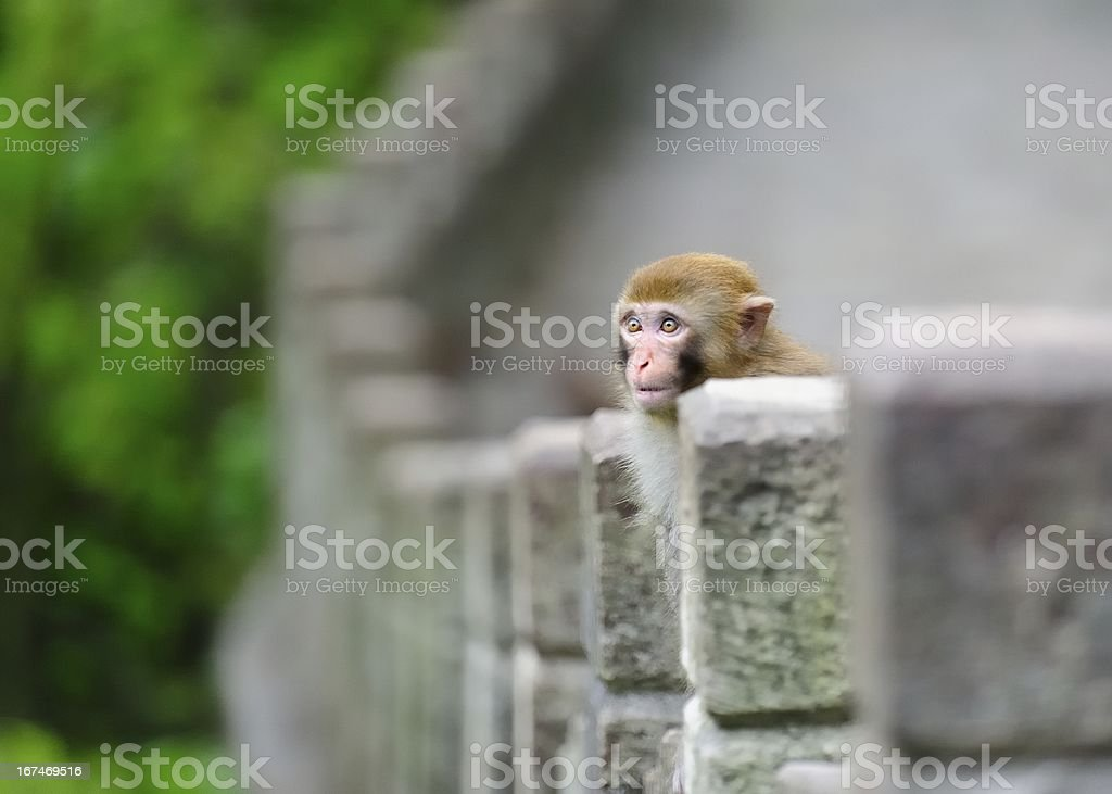 The curious young monkey royalty-free stock photo