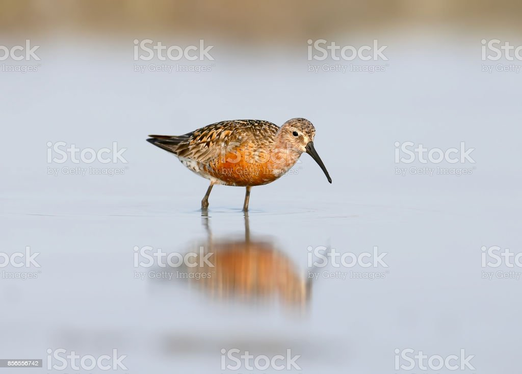 The curlew sandpiper (Calidris ferruginea) in autumn plumage stand on the water. stock photo