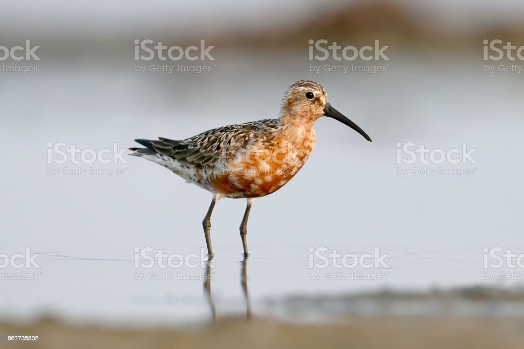 The curlew sandpiper (Calidris ferruginea) stand on the water stock photo
