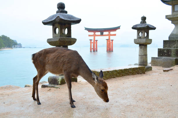 The cute deer in Miyajima Island The deer on Miyajima Island in Hiroshima, Japan itsukushima shrine stock pictures, royalty-free photos & images