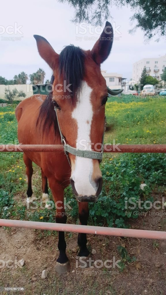 The Cute Horse With White Nose Stock Photo More Pictures Of Animal Istock