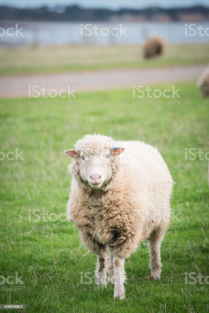 The cute sheep. stock photo