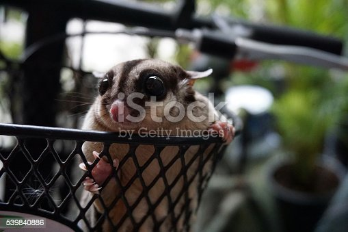 The cute sugar glider in the basket front of bicycleThe cute sugar glider in the basket front of bicycle