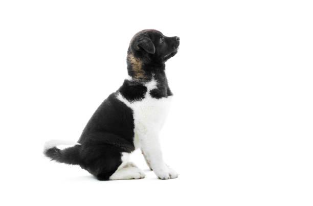 the cutest black and white american akita s puppy. - sugar cane foto e immagini stock