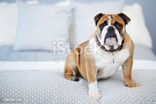 Shot of an adorable dog in a bedroom at home
