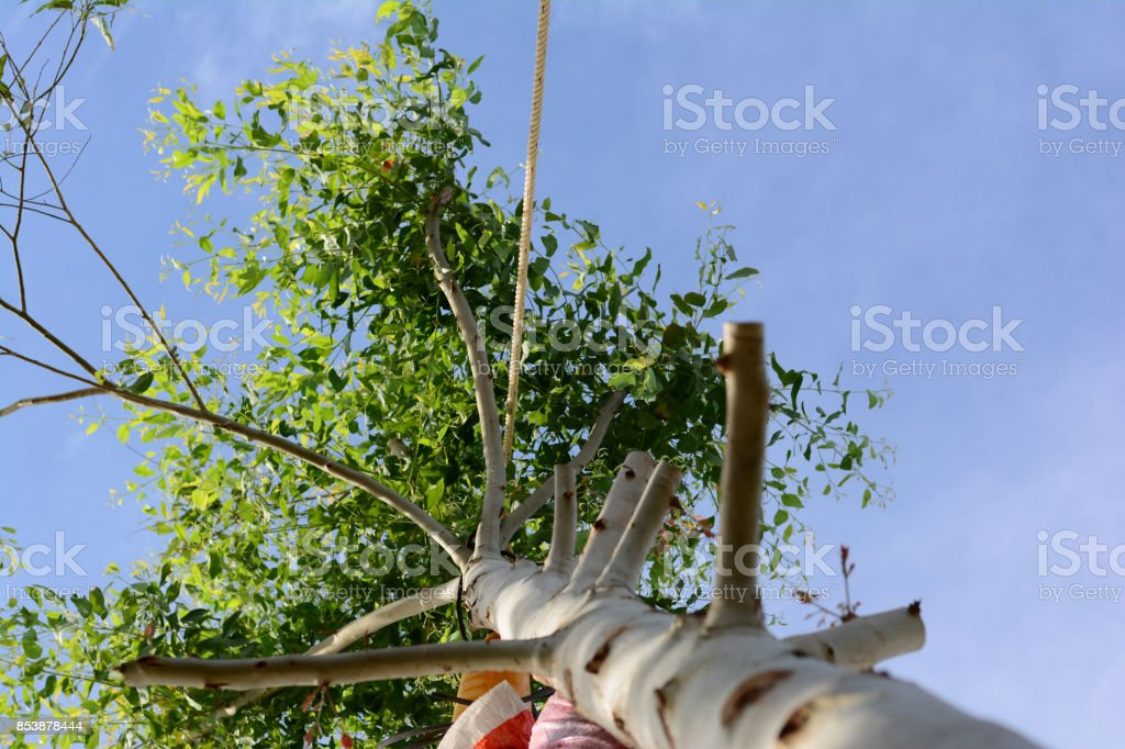 the cutted tree and green leaves with white rope  and blue sky stock photo