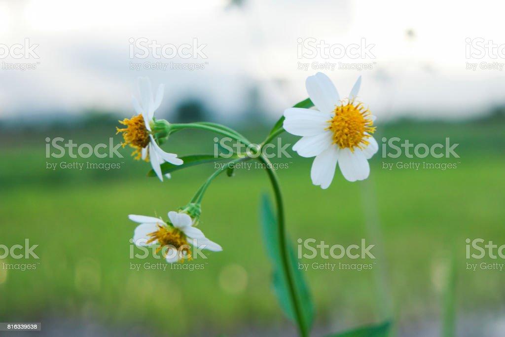 The Daisy flowers. stock photo