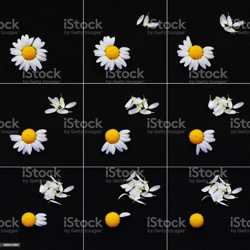 The daisy oracle, he loves me, he loves me not. stock photo