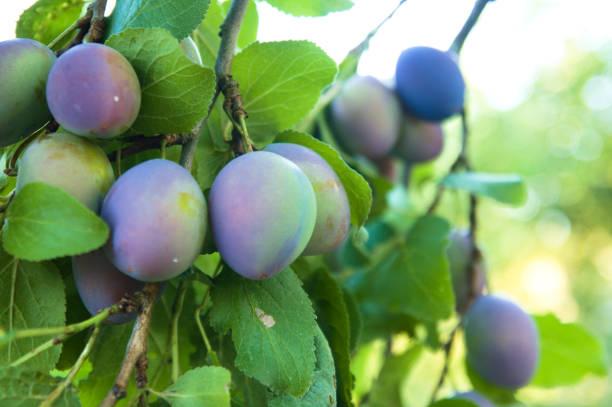 de kwets of kwets pruimen (prunus domestica) - fruitboom stockfoto's en -beelden
