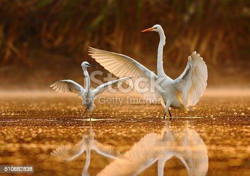Dance of egrets in golden morning.