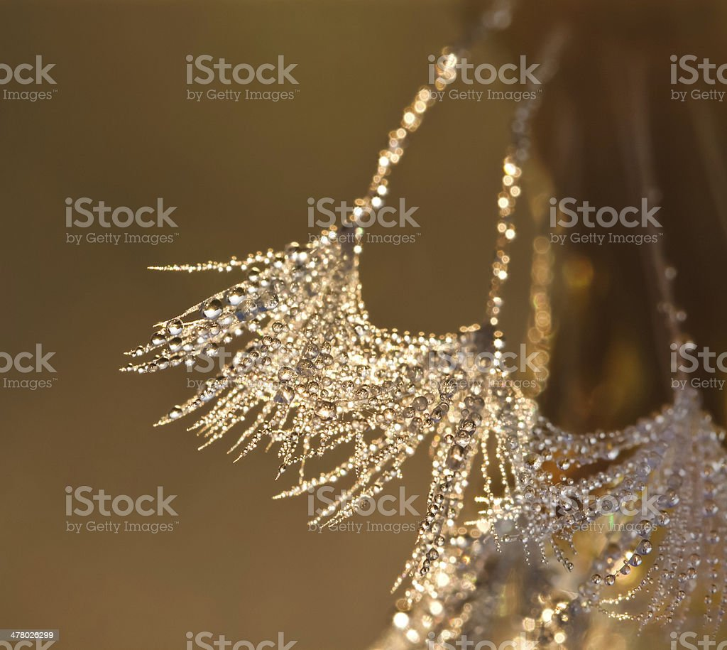 the dandelion in drops of dew royalty-free stock photo