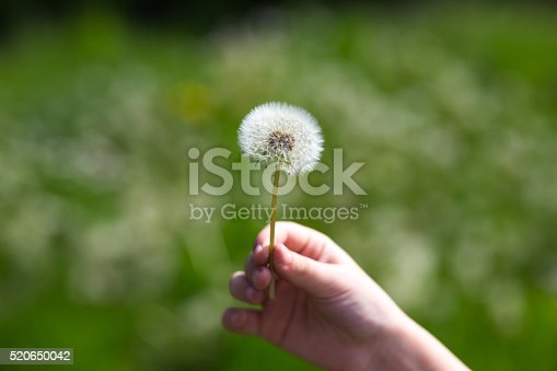 The dandelions blowballs are ready to start seeds downwind.