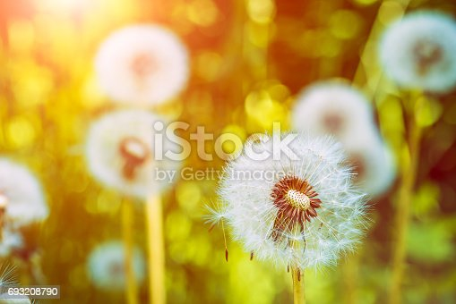 The dandelions blowballs under sun flares are ready to start seeds downwind.