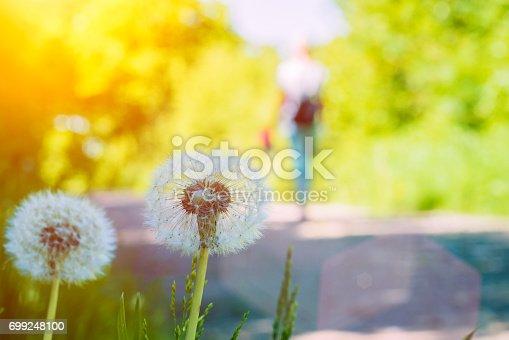 The dandelions blowballs under sun flares near walk path.
