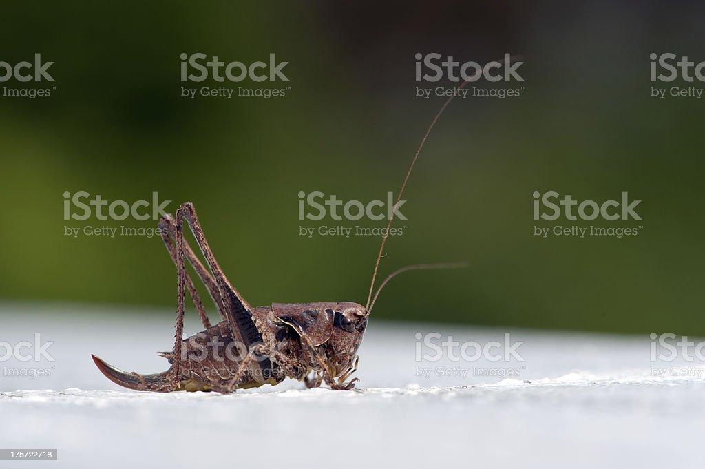 The dark bush-cricket (Pholidoptera griseoaptera), female royalty-free stock photo