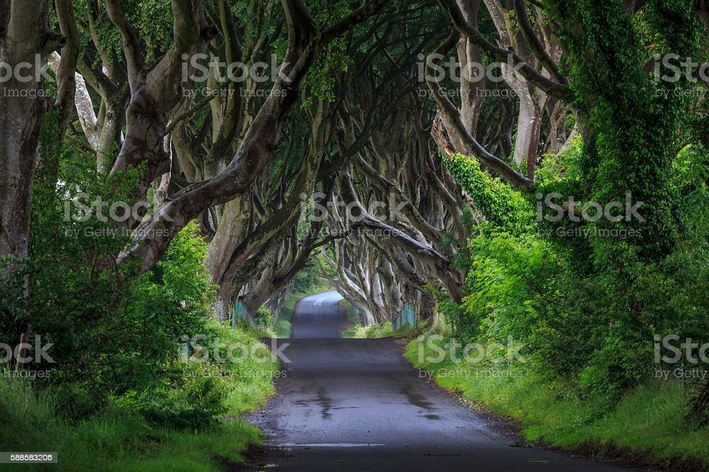 The Dark Hedge, Northern Ireland. – Foto